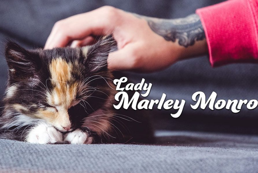 Introducing Lady Marley Monroe – kitten cuteness overload!